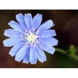 Синя жлъчка - Цикория, стрък